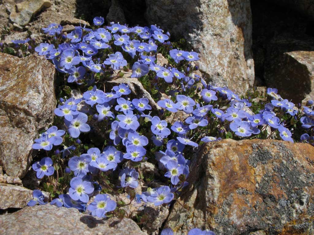 цветы фото вероника